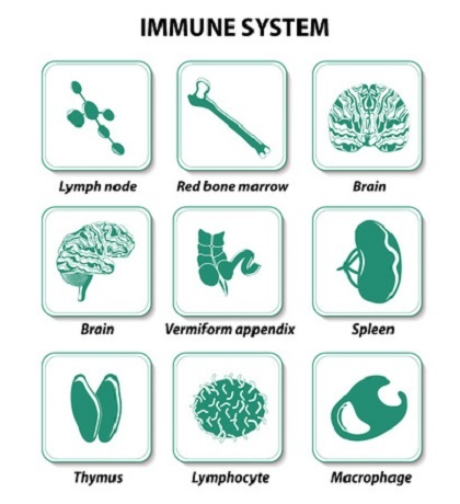 Immune System And HGH